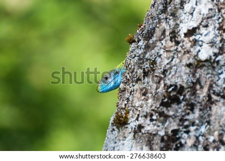 A green lizard with blue head behind a tree trunk - stock photo