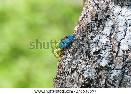 A green lizard with blue head hiding behind a tree trunk - stock photo