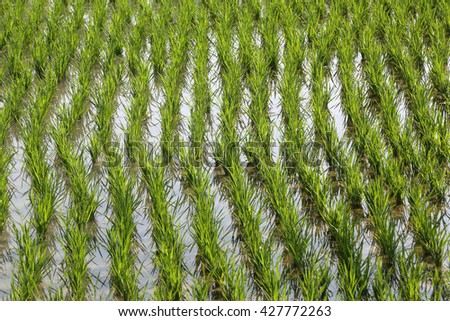 A green paddy field in West Bengal, India. - stock photo