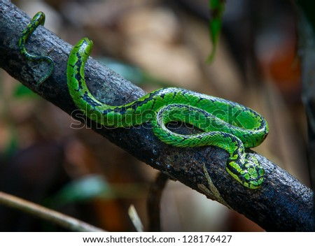 A green Pit Viper in a tree - stock photo