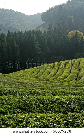 A green tea plantation in Asia - stock photo