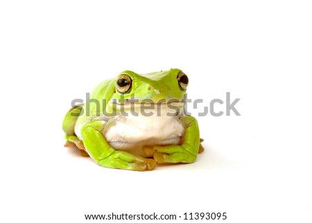 a green tree frog on a white background - stock photo