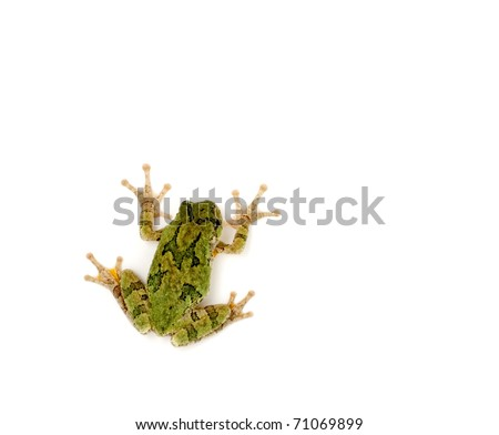 A green tree frog stuck to a white background - stock photo