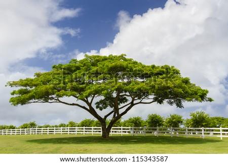 A green tree standing next to a white fence. Taken at Kauai - stock photo