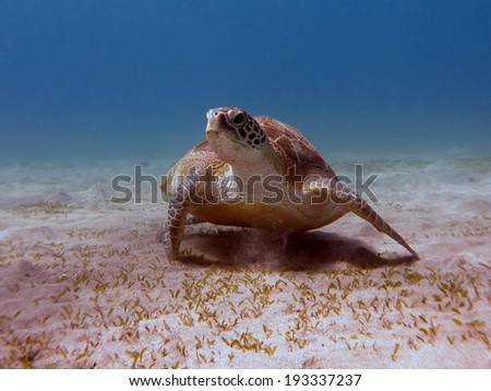 A Green turtle (Chelonia mydas) eating on the sandy bottom of a beautiful shallow lagoon. Red Sea, Marsa Alam. - stock photo