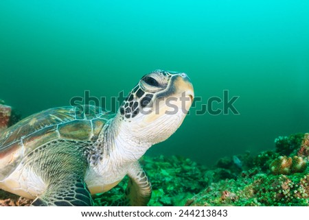 A green turtle on a dark, tropical coral reef during an algae bloom - stock photo