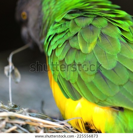 A green, yellow and gray Senegal parrot holds a twig in its beak. - stock photo