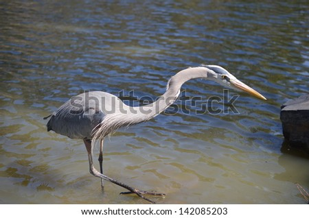 A grey crane in th water and reaching out. - stock photo