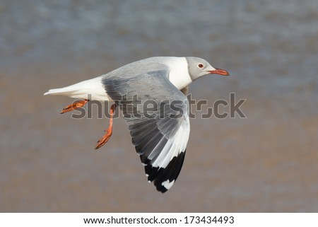 A Grey-Headed Gull (Larus cirrocephalus) in flight on the beach - stock photo