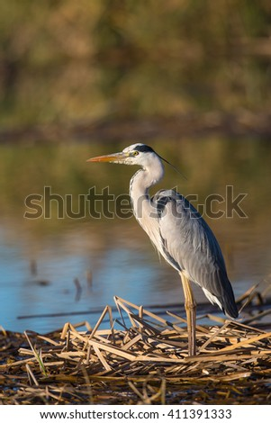 A Grey Heron (Ardea cinerea) standing on dry reeds, against a blurred water, natural background, Spain - stock photo