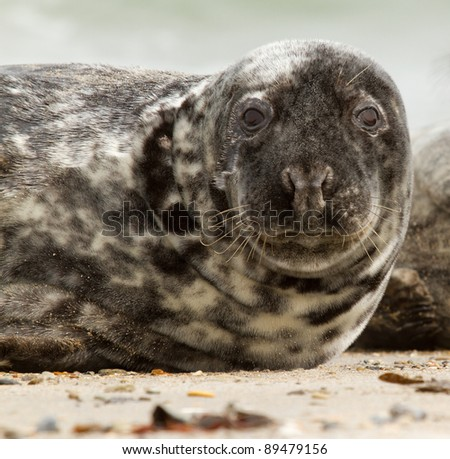 A grey seal on the beach - stock photo