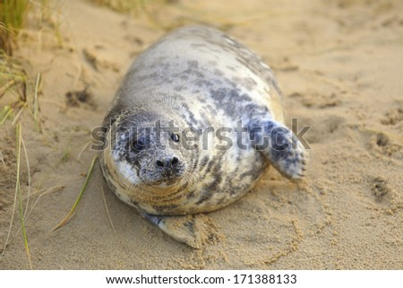 A grey seal pup on Horsey Beach, Norfolk, England, where a breeding colony has become established over the last few years. Despite its size this baby is only a few weeks old. - stock photo