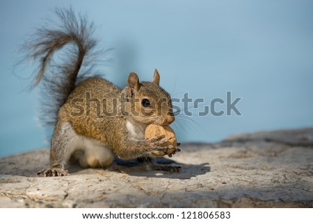 A grey squirrel looking at you while holding a nut  in the blue sky background - stock photo