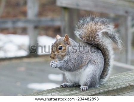 A grey squirrel perched on a fence with bird seeds. - stock photo