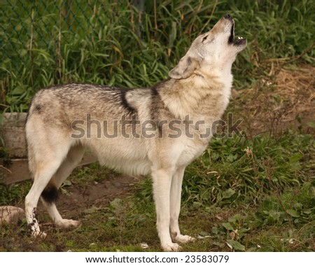 A grey wolf howling - stock photo