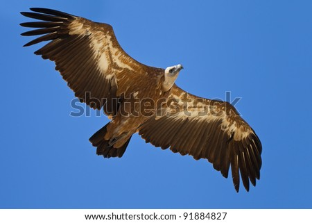A griffon vulture flying at blue sky - stock photo