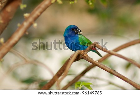 A Grosbeak type songbird perched on a tree branch. - stock photo
