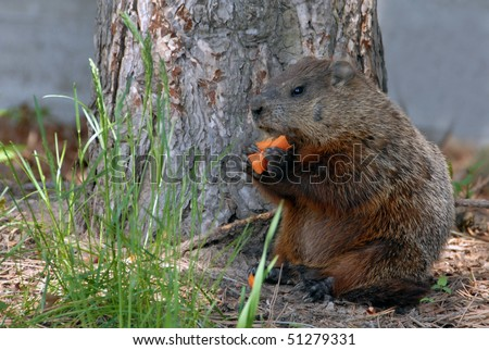 A Groundhog eat carrots - stock photo