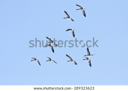 A group, flock of Greylag Geese, Anser anser, flies on the blue sky. Early morning in spring. - stock photo