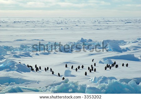 A group of about forty Antarctic adelie penguins running into the blue wideness of an Antarctic icescape scenery. - stock photo