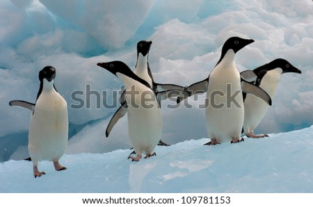 A group of Adelie Penguin (Pygoscelis adeliae) standing on an iceberg at Hope Bay in the Northern Tip of the Antarctic Peninsular. - stock photo
