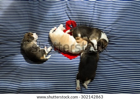 A group of adorable Beagle Puppies take a nap on the comfy bed in the afternoon (The sunlight from the window) - stock photo