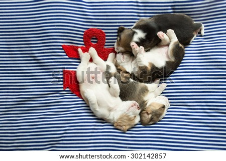 A group of adorable Beagle Puppies take a nap together on the comfy bed - stock photo