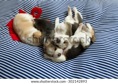 A group of adorable Beagle Puppies take a nap together on the comfy bed (Soft Focus) - stock photo