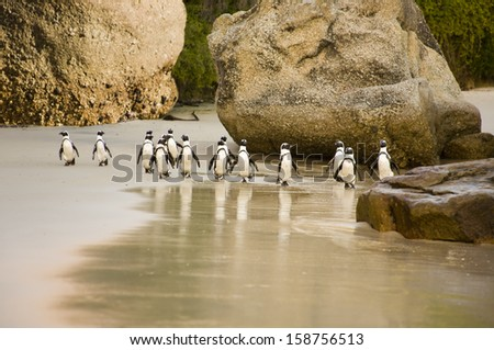 A group of African Penguins waddling across Boulders Beach, Cape Town, South Africa - stock photo