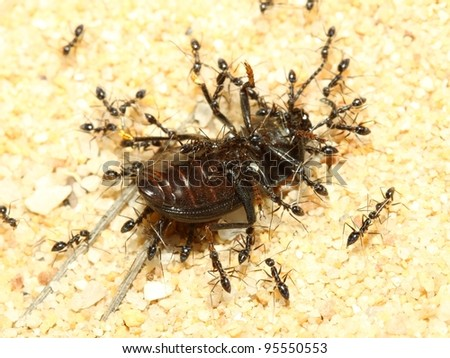A group of  ants  attacking a Beetle on land - stock photo