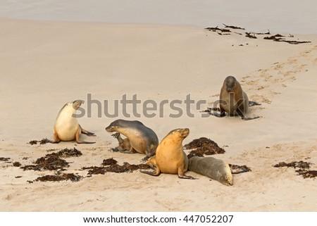 A group of Australian Sea Lions sunbathing on sand after swimming at Seal Bay, Sea lion colony on south coast of Kangaroo Island, South Australia - stock photo