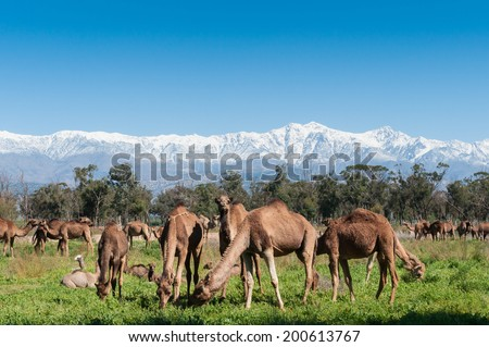 A group of camels grazing on fresh pasture between the Atlas mountains and Sahara desert in Morocco. - stock photo