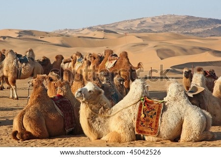 A group of camels in desert - stock photo