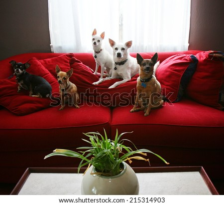 a group of chihuahua dogs sitting on a couch in a living room - stock photo