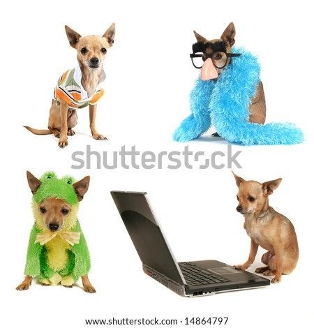 a group of chihuahuas in various poses - stock photo