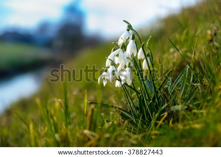 A group of common snowdrops in the grass besides the road. - stock photo