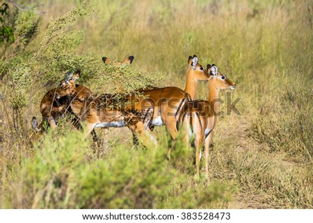 A group of female impala standing in african savanna. Moremi game reserve, Botswana. - stock photo