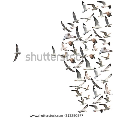 a group of flying seagull birds with one individual bird going in the opposite direction white background. - stock photo