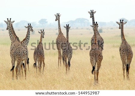 A group of giraffes (Giraffa camelopardalis) in Serengeti National Park, Tanzania - stock photo