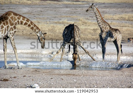 A group of giraffes in Ethosha National Park Namibia drinking water at a waterhole - stock photo