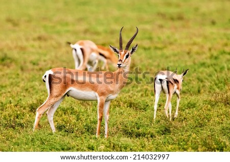 A group of Grant's Gazelles in the Serengeti National Park, Tanzania - stock photo