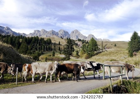 A group of grazing cows crossing the road for returning from pasture in the mountains for the winter retreat. Colored cows at the Dolomite mountains in autumn time.  - stock photo