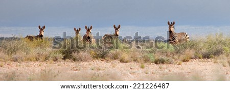 A group of Hartmann's Mountain Zebra (Equus zebra hartmannae) looking over desert grassland, Augrabies Falls National Park, South Africa - stock photo