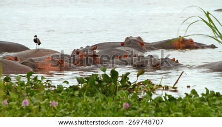 A group of hippopotamusses sleeping together in the nile river among the water plants in the foreground.  A lone bird perches on top of one hippopotamus. - stock photo