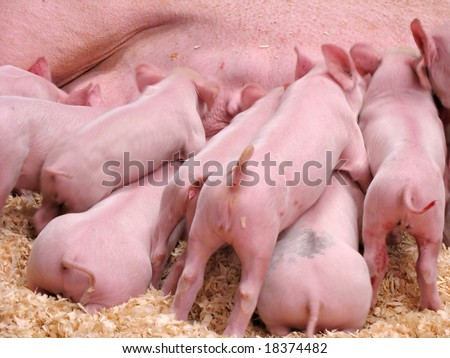 A group of hungry piglets fighting to get their fair share of milk. - stock photo