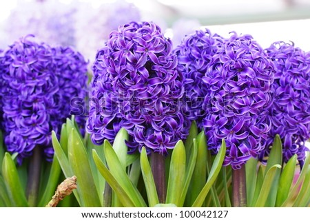 A group of hyacinth flowers in purple color - stock photo