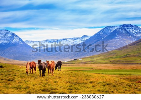 A group of Icelandic Ponies in the pasture with mountains in the background - stock photo