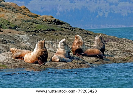 A group of large sea lions on the beach bathing in the sun. /Sea Lions enjoying the sun. - stock photo