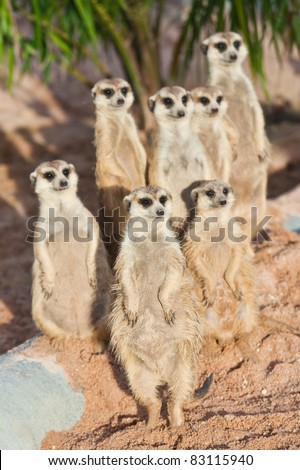 A Group of Meerkats - stock photo