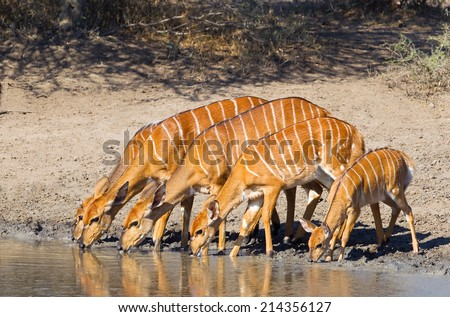 A group of Nyala (Tragelaphus angasii) females and a young fawn drinking at a waterhole in Hluhluwe Game Reserve, South Africa - stock photo